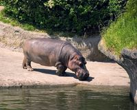 One Hippopotamus Near Water Edge. This lone hippopotamus is standing and about to get a drink of water at the shore Stock Image