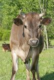 One holstein cow Royalty Free Stock Image