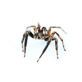 one home spider isolated on white Royalty Free Stock Photography