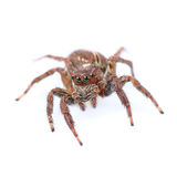 one home spider isolated on white Stock Photography