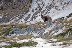 One horn chamois. A chamois with a broken horn on the marsicano mount in abruzzo national park in italy Stock Photos