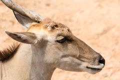 One horn impala head Royalty Free Stock Images