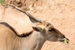 One horn impala head Stock Image