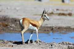 One horn springbok at the water Royalty Free Stock Photography