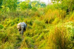 One Horned Indian Rhinoceros Rear End View Distant. Mid-distance rear end view of one horned Indian Rhinoceros in its grassy natural habitat at Chitwan National stock photos