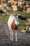 One horned oryx Stock Photo