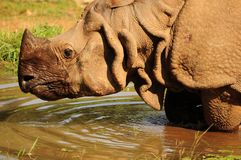 One horned Rhino Royalty Free Stock Photo