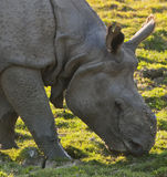 One horned rhino Stock Images