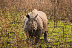 One horned Rhino Royalty Free Stock Image