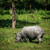 One horned rhino. Of Assam royalty free stock photos
