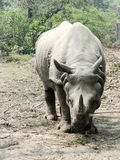 One Horned Rhino Royalty Free Stock Images
