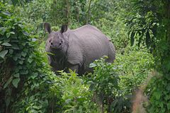 One-horned Rhino A. Greater One-Horned Rhinoceros in Chitwan National Park, Nepal royalty free stock images