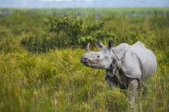 One horned Rhino - Stock image stock images