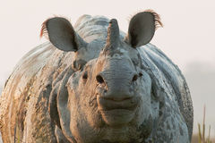 One horned rhino. Shot in Kaziranga national park Royalty Free Stock Photos