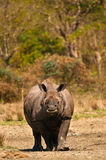 Rhino vertical image Royalty Free Stock Photo