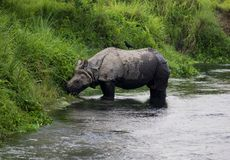 One-horned Rhinoceros Stock Images