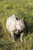 One horned rhinoceros stock photography