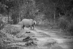 One horned rhinoceros royalty free stock images