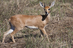 One-horned Steenbok Stock Photos