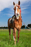One horse Royalty Free Stock Photo