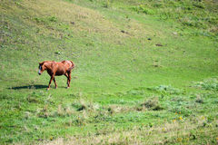 One Horse In Field. Beautiful brown horse walking in green grassy field Stock Photography
