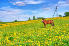 One horse grazes on meadow Royalty Free Stock Photography