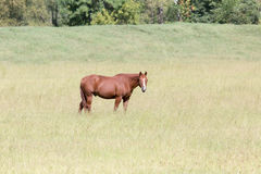One horse in a meadow. Looking towards viewer stock images