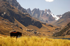 One horse in the middle of fields. One horse in the middle of field - Chavin - Peru royalty free stock images