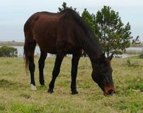 ONE HORSE IS OBSERVED IN THE FIELD EATING GRASS stock images
