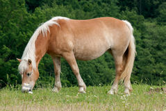 One Horse on Pasture Royalty Free Stock Image