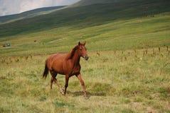 One horse runs home Stock Photo