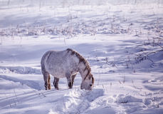 One Horse stay in the snowy woods in winter Stock Image