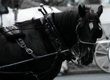 One Horsepower. This horse powers a carriage in Canada Royalty Free Stock Photos