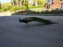 In one of the hotels in Turkey. Peacock. royalty free stock photo