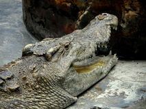 One huge Saltwater Crocodile Stock Photo