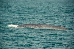 One Huge Wild blue whale dives in indian ocean. Wildlife nature background. Copy space. Adventure travel, tourism industry. Miriss stock photo