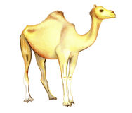 One-humped camel on a white background Royalty Free Stock Photography