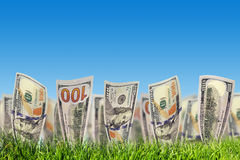 One hundred dollar banknotes growing from grass. Money Royalty Free Stock Photography