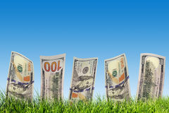 One hundred dollar banknotes growing from green grass. Money Royalty Free Stock Image