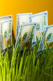 One hundred dollar bills in green grass Royalty Free Stock Image