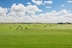 One hundred percent Dutch, grazing cows beside the blooming tuli Stock Image