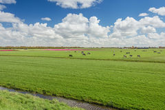 One hundred percent Dutch, grazing cows beside the blooming tuli Stock Photos