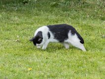 One hungry black and white cat looking  for food in green grass. One hungry black and white cat looking for food in green grass Stock Photography