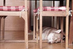 Perfect place to sleep. This one is husky Stock Images