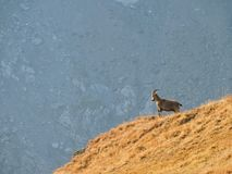 lonely ibex stock image