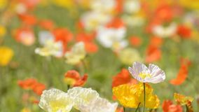 One iceland poppy flower stock footage