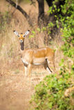 One impala in Africa Royalty Free Stock Images