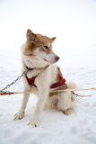 One Inuit Sled Dog Harnessed in Snow for Dogsledding in Minnesota. One Inuit sled dog stand in the snow of Ely, Minnesota preparing to haul dog sled riders Royalty Free Stock Photos