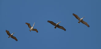 One Is Dancing Out Of The Row - Pelicans Costa Rica Stock Photo