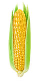 One isolated corn with leaves Stock Photography